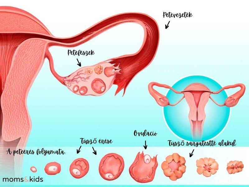 A peteérés folyamata a ciklus során. Ismerd fel az ovuláció jeleit!
