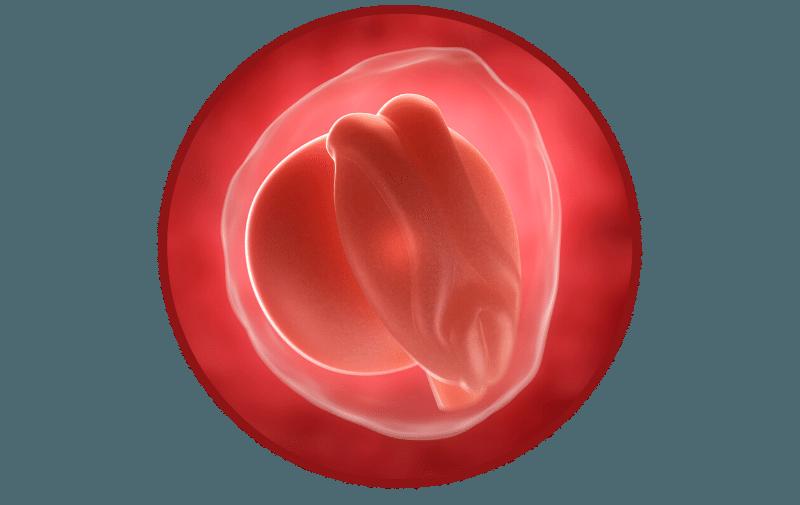 3 hetes magzat a terhesség 3. hetében
